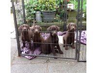 Beautiful Chocolate Labrador Puppies