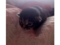 tabby and ginger kittens for sale