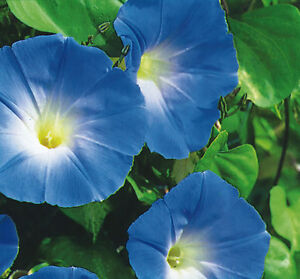 Ipomoea-Morning-Glory-Heavenly-Blue-100-seeds