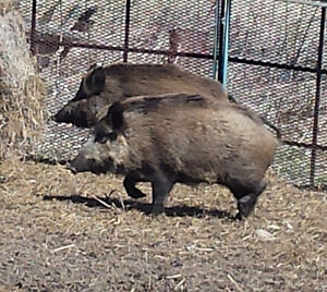 Wild Boar: Live or Killed whole animals, custom meat orders Kingston Kingston Area image 8