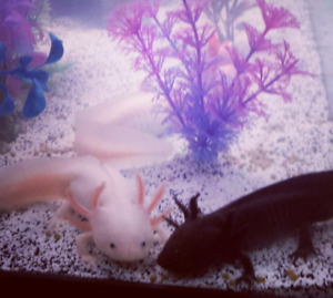 Baby Axolotls for Sale