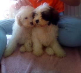 Beautiful shihpoo puppies