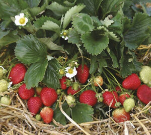Strawberry plants for sale!!