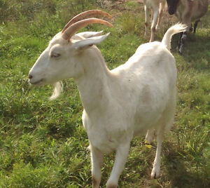 Dairy goat in milk for sale
