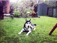 YOUNG PROFESSIONAL and SIBERIAN HUSKY Looking for Accommodation