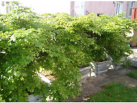Beech trees, 17 mature trees, instant hedge.