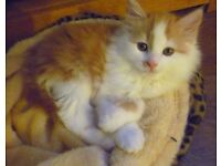 Looking for a male ginger and white kitten