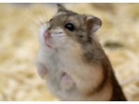 Cute hamster for sale with cage