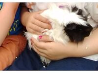 2 male Guineapigs 5 months old with indoor cage