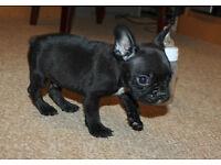 Miniature french bulldog puppie for sale