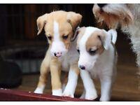 Italian Greyhound X Bedlington Whippet Puppies