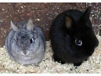 *2 Male Netherland Dwarf Rabbits / Bunnies*