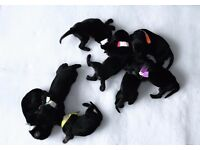Doberman puppies.