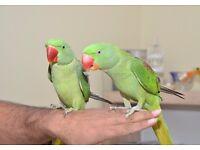 Hand Tamed Alexandren 12wks Talking Parrot