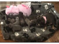FRENCH BULLDOG SOLID BLUE KC REG PUPPIES