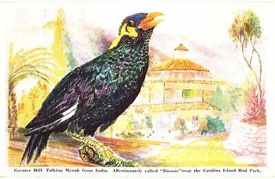POSTCARD GREATER HILL TALKING MYNAH JIMMIE CATALINA ISLAND BIRD PARK CA