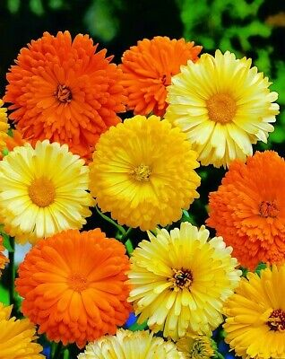 Calendula seeds Pacific Beauty Mixed (Pot marigold), in bulk from 1 kg