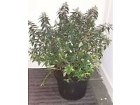 St. John's Wort Plant / Hypericum Hidcote