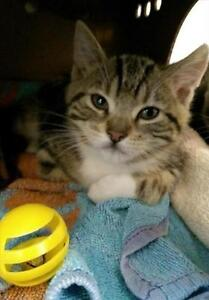 """Young Female Cat - Domestic Short Hair: """"Spice"""""""
