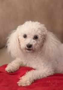 "Adult Female Dog - Bichon Frise: ""Bailey"""