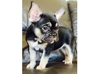 French bulldog female quad carriers