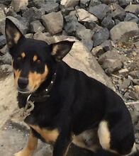 Pure bred kelpie breeder Amaroo Gungahlin Area Preview