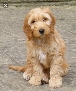 Family Looking to Adopt Cockapoo