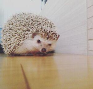 Hedgehog with Custom Made Living Enclosure