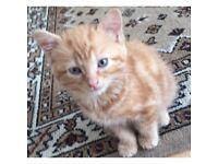 Ginger kitten for sale