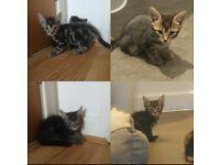Stunning Chocolate Brown & Grey Tabby Kittens