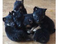 German shepherd x border collie puppy's