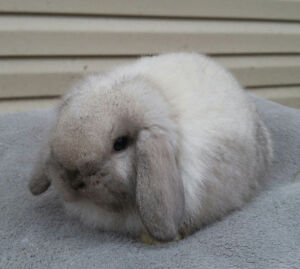 Holland lop baby boy bunny