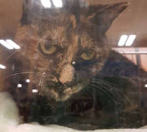 BEAUTIFUL TORTI IN NEED OF A HOME