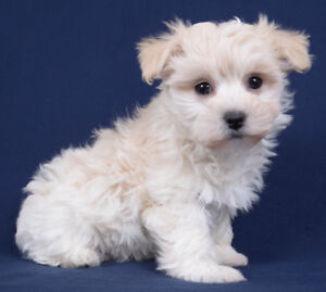 Toy Maltipoo Puppies Ready To Go!