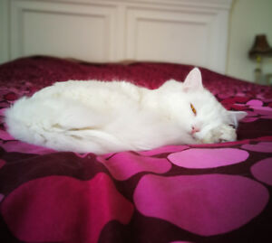 Pure white cat for rehoming