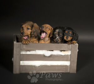 EXPECTING for November Gorgeous Miniature Dachshunds puppies