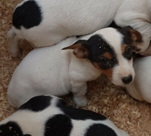 Jack Russell Terrier puppies including shots