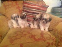 Teddy-Bear Puppies (Shih tzu x Bichon Frise)