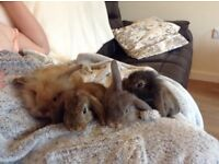 French lop baby bunnies