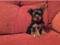 miniature yorkie/yorkshire terrier