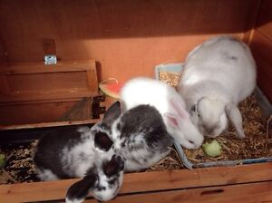 Baby lopps pure breed Ulverstone Central Coast Preview