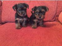 miniature yorkshire/yorkie puppies