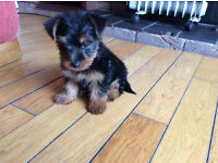 miniature yorkie/yorkshire terrier
