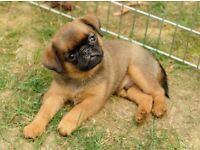 Griffon Brabancon (pedigree) puppy