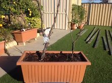 Grape vines (cut back) seedless Wanneroo Wanneroo Area Preview