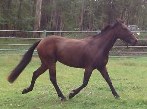 QH xClydesdale bay filly Tinbeerwah Noosa Area Preview