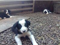 Border Collie Pups (Dunsyre, Biggar)