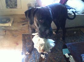 Pressa Canario x Cane Corso Puppy For Sale