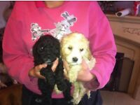 cockapoo puppies ***READY NOW***