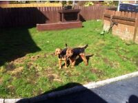 Lakeland terrier pups (9wks old)